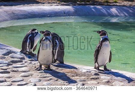 Humboldt Penguins (latin: Spheniscus Humboldti) Is A South American Penguin Living Mainly In The Coa