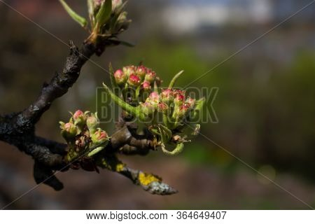 Green Buds On Branches In Spring. Nature And Blooming In Spring Time. Bokeh Light Background.