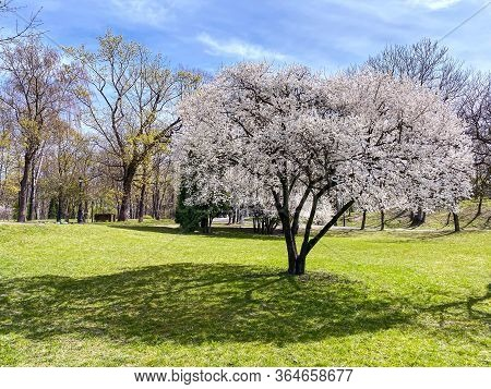 Spring Park Landscape With Cherry Tree In Full Bloom On Foreground