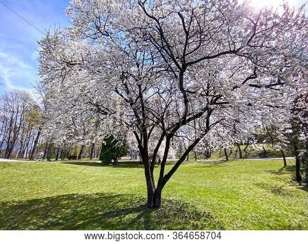 Blossoming Cherry Tree On Green Lawn. City Park In The Early Spring