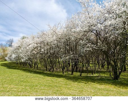 Rows Of Blooming Cherry Trees Against Blue Sky Background. Park Landscape In Sunny Spring Day