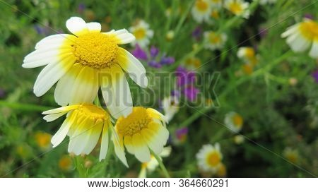 Closeup Of Wild Daisy Like Flowers Waiting For Heat Of The Sun