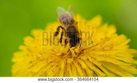 Yellow Dandelions With A Bee. Honey Bee Collecting Nectar From Dandelion Flower. Close Up Flowers Ye