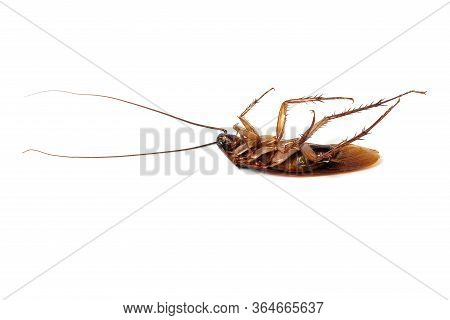 Cockroaches Dead Cockroaches Isolated On White Background