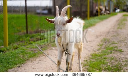 A Goat Grazes In The Countryside. A Tethered Goat Grazes On The Lawn. A White Goat Was Grazing In A