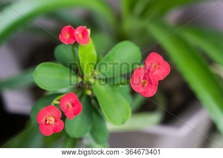 Closed Up Crown Of Thorns Or Christ Thorn Flowers