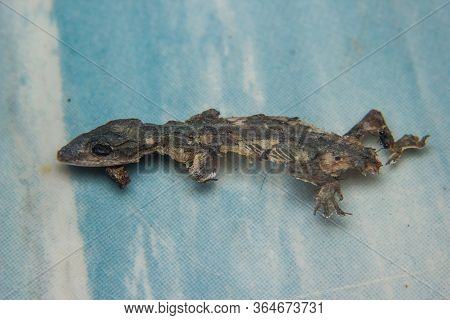 Close Up Of Dried Dead Small Lizard