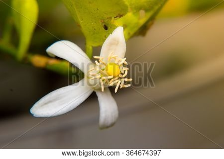 Close Up Of Blossoming Lemon Flower In The Garden