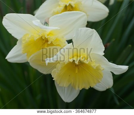 Bright And Showy Daffodil Flowers Close Up. Narcissus Flowers.