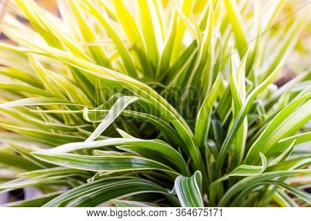 Cholorophytum Comosum Or Spider Plant With Sunset Light