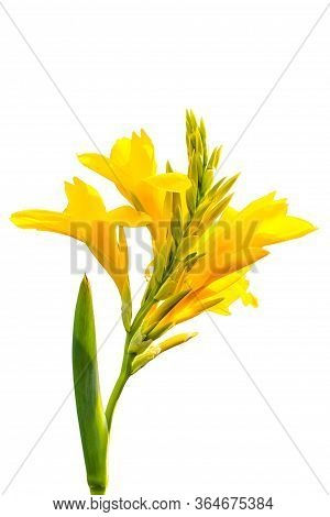 Yellow Canna Flower Blooming On Isolated White Background
