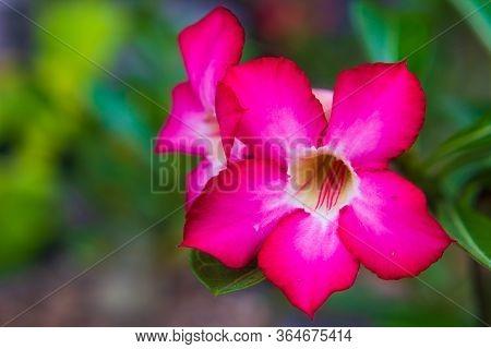 Desert Rose Or Impala Lily Flower In The Garden