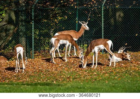 Dama Gazelle, Gazella Dama Mhorr Or Mhorr Gazelle Is A Species Of Gazelle. Lives In Africa In The Sa