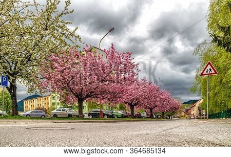 Ruzomberok, Slovakia - May 3: 2020: Blooming Cherry Trees In Centre Of City