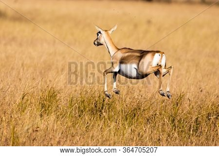 The Jumping Black Buck The Black Buck Antelope Commonly Seen In Grasslands. But Jumping Over The Gra