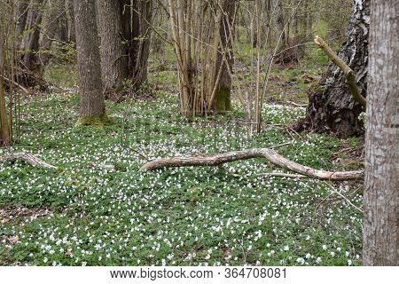 Forest Ground Covered With Blossom Wood Anemones By Leafing Season In A Forest