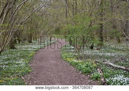 Winding Footpath By Spring Season In A Deciduous Forest With Blossom Spring Flowers