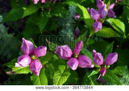 Red Turtlehead Flowers (chelone Obliqua) Blooming In A Garden On Sunny Day, Close Up, Pink Flowers B