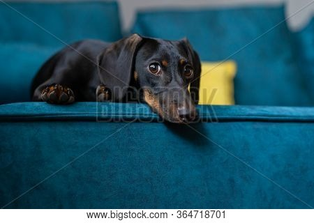 A Young Dachshund Puppy. Sitting On The Couch And Sad. Beautiful Dog