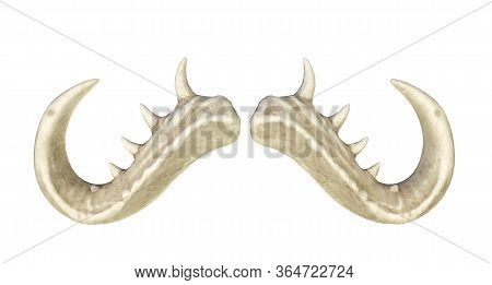 Horns For A Bull, Horns Of A Monster On A White Background 3d Render