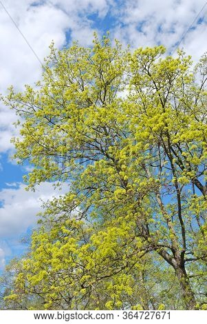 Very Beautiful Tree With Green Leaves In A Sunny Spring Day Against A Blue Sky