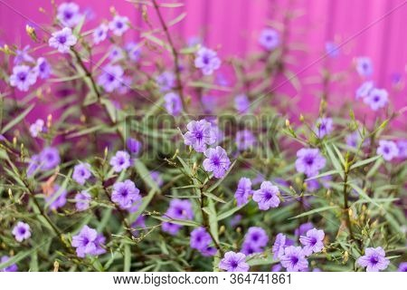 Purple Ruellia Tuberosa In A Garden With A Pink Wall