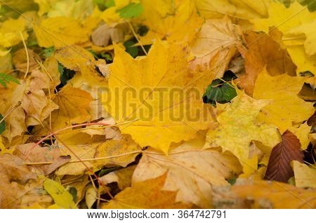 Orange, Yellow Red Maple Leaves Autumn Background. Autumn Colorful Leaves