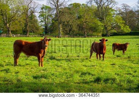 Bulls on a sunny meadow in Ireland