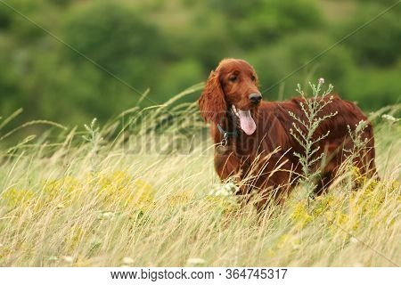 Happy Irish Setter Pet Dog Puppy Panting In The Grass In Summer In The Field