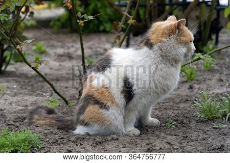 A Cat Uses The Soil In The Garden As A Cat Toilet, Cat Defecates In The Garden