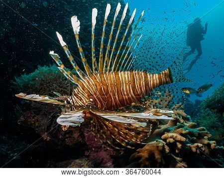 Amazing Picture Of A Lionfish (pterois) At A Red Sea Coral Reef With The Silhouette Of Scuba Diver I