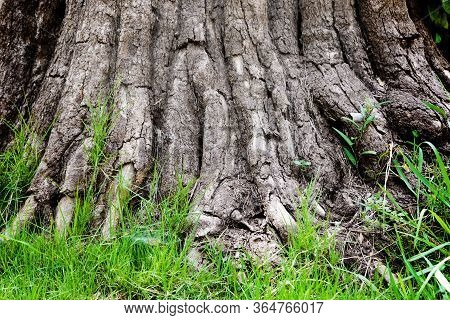 Outdoor Shot Root Of Giant Tree And Green Grass In Nature For Background