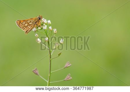 Small Woodland Butterfly, Chequered Skipper, With Brown Eyes And Yellow Spots On Orange Wings Sittin