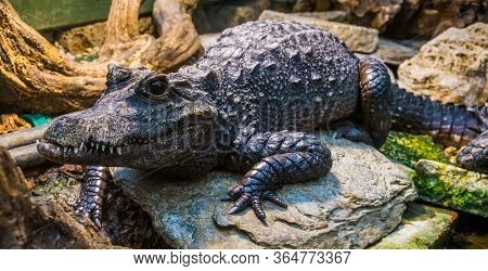Beautiful Portrait Of A African Dwarf Crocodile, Tropical And Vulnerable Reptile Specie From Africa