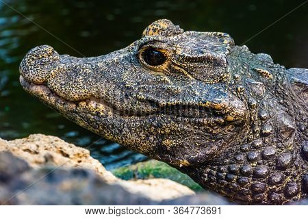 The Face Of A African Dwarf Crocodile In Closeup, Tropical And Vulnerable Reptile Specie From Africa