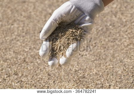 Lawn Installation. A Female Gloved Hand Sows Grass Seeds.