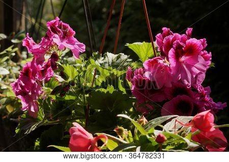 Pelargonium Grandiflorum (english Geranium) And Impatiens. A Set Of Flowers For The Balcony.