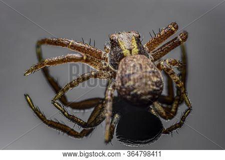 The Common Crab Spider On Light Grey Background ( Xysticus Cristatus )- Macro, Closeup - Art Design