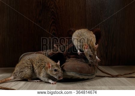 Close-up Two Rats Near   Brown Boots On The Gray Floors. The Concept Of Rodent Control  In The Apart