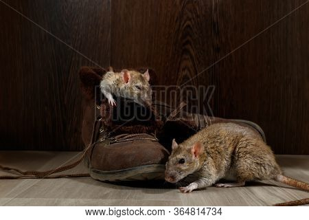 Close-up Two Rats Near   Brown Boots On The Gray Floors. One Rat Sleeps Inside Of The Boot. The Conc