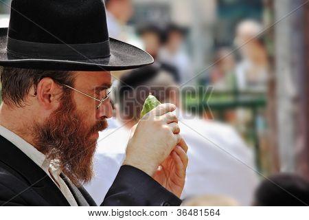 BNEI BRAK, ISRAEL - SEPT 22: An orthodox Jew in glasses and black hat picks citrus before the holiday of Sukkot September 22, 2010 in Bnei Brak, Israel