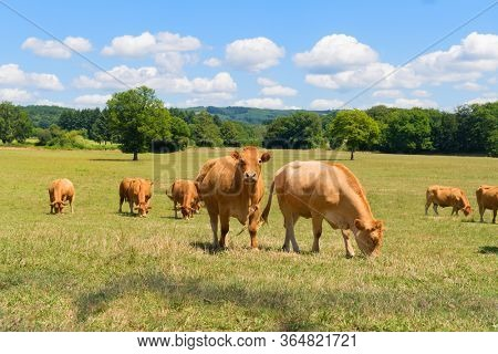 Brown Limousine cows in French landscape