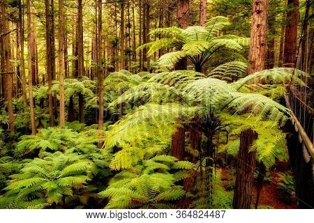 New Zealand Native Ferns And Punga Trees Growing Amidst The Giant Californian Redwoods In The Forest