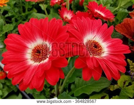 Close Up Of Red And White Gerbera Daisy Flowers