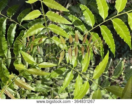 Close Up Fresh Green Azadirachta Indica Leaf In Nature Garden