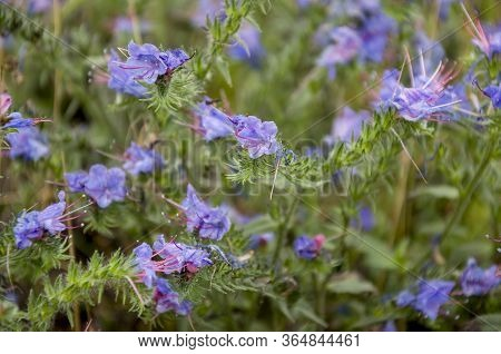 Meadow Violet And Purple Flowers In The Summer Field. Nature Landscape