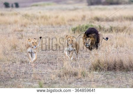 Two adult lionesses being followed by a dominant male lion. Grasslands of the Masai Mara, Kenya. Focus on lionesses..