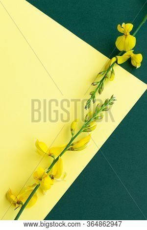 Yellow Blossom Gorse On Colorful Background, Flat Lay Floral Themes, Space For Text
