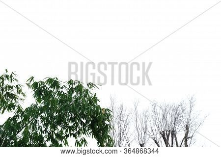 Bamboo Leaves With Branches And Leafless Tree On White Isolated Background For Green Foliage Backdro