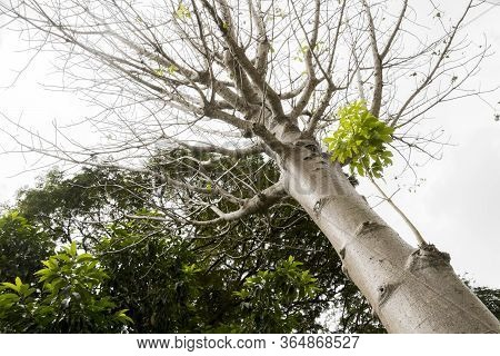 Adansonia Digitata Baobab Tree In The Tropical Nature In Perdana Botanical Garden, Malaysia.